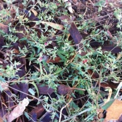 Einadia nutans subsp. nutans (Climbing Saltbush) at Hughes Garran Woodland - 19 Mar 2017 by ruthkerruish