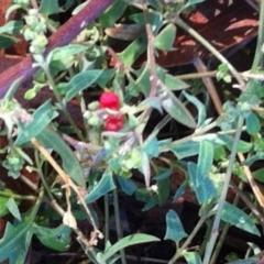 Einadia nutans subsp. nutans at Hughes Garran Woodland - 20 Mar 2017