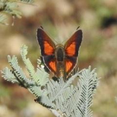 Paralucia aurifer (Bright Copper) at Namadgi National Park - 19 Mar 2017 by JohnBundock