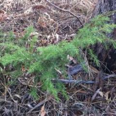 Juniperus communis (Juniper) at Hughes Garran Woodland - 11 Mar 2017 by ruthkerruish