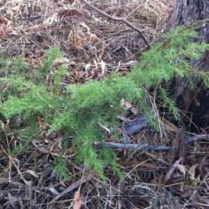 Juniperus communis at Hughes Garran Woodland - 11 Mar 2017
