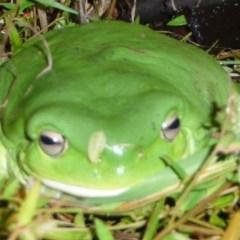 Litoria caerulea (Green Tree Frog) at Hughes Garran Woodland - 22 Apr 2015 by ruthkerruish