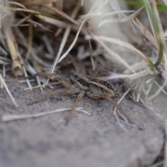 Tasmanicosa sp. (genus) (Unidentified Tasmanicosa wolf spider) at Narrabundah, ACT - 9 Mar 2017 by Cowgirlgem