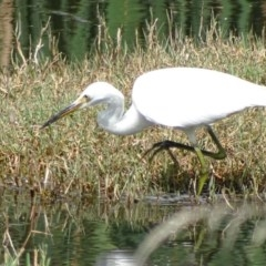 Egretta garzetta (Little Egret) at Jerrabomberra Wetlands - 16 Mar 2017 by roymcd