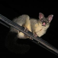 Trichosurus vulpecula (Common Brushtail Possum) at Kambah, ACT - 24 Mar 2017 by MatthewFrawley