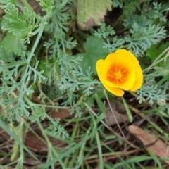 Eschscholzia californica (California Poppy) at Stony Creek - 25 Mar 2017 by Mike