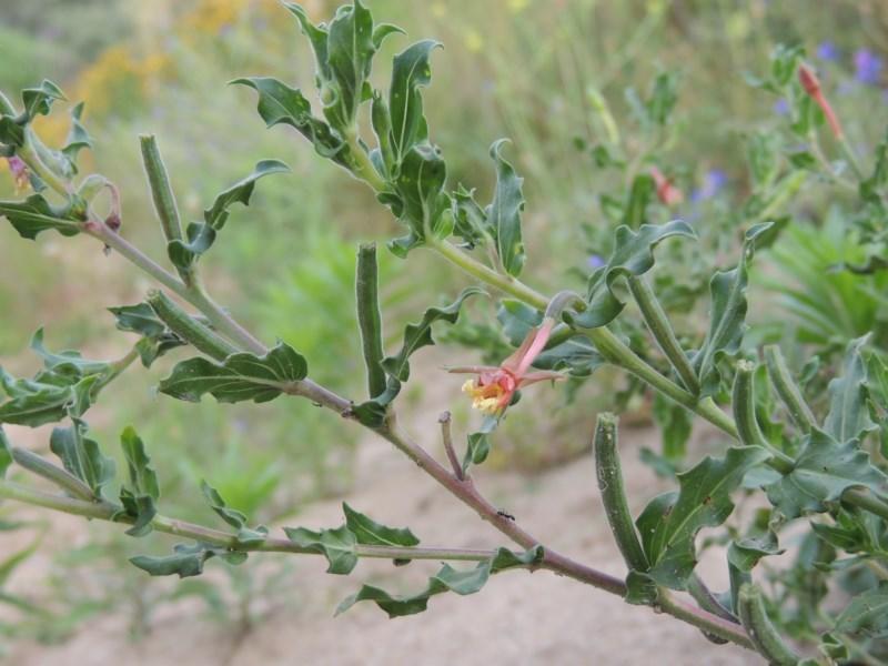 Oenothera indecora subsp. bonariensis at Gigerline Nature Reserve - 28 Dec 2016