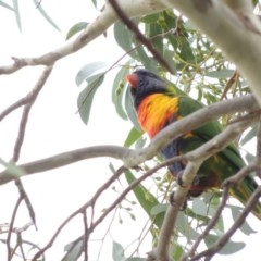 Trichoglossus moluccanus (Rainbow Lorikeet) at Conder, ACT - 25 Mar 2017 by michaelb