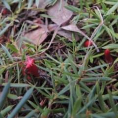 Astroloma humifusum (Cranberry heath) at Mount Majura - 26 Mar 2017 by michaelb