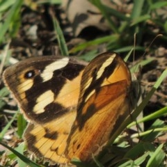 Heteronympha merope (Common Brown) at Conder, ACT - 6 Apr 2014 by michaelb