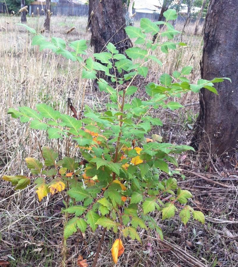 Koelreuteria paniculata at Hughes Garran Woodland - 25 Mar 2017