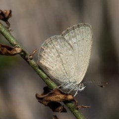 Zizina otis (Common Grass-blue) at Kambah, ACT - 9 Nov 2014 by HarveyPerkins