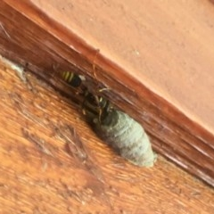 Sceliphron formosum (Mud-dauber wasp) at Wolumla, NSW - 27 Mar 2017 by PatriciaDaly