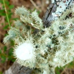 Usnea sp. (Old man's beard) at Bungendore, NSW - 18 Mar 2017 by JanetRussell