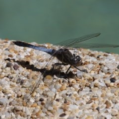 Orthetrum caledonicum (Blue Skimmer) at Kambah, ACT - 26 Oct 2014 by HarveyPerkins
