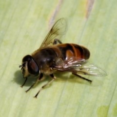 Eristalis tenax (Drone fly) at Kambah, ACT - 4 Dec 2010 by HarveyPerkins