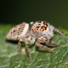 Opisthoncus grassator (Jumping spider) at Kambah, ACT - 28 Sep 2014 by HarveyPerkins
