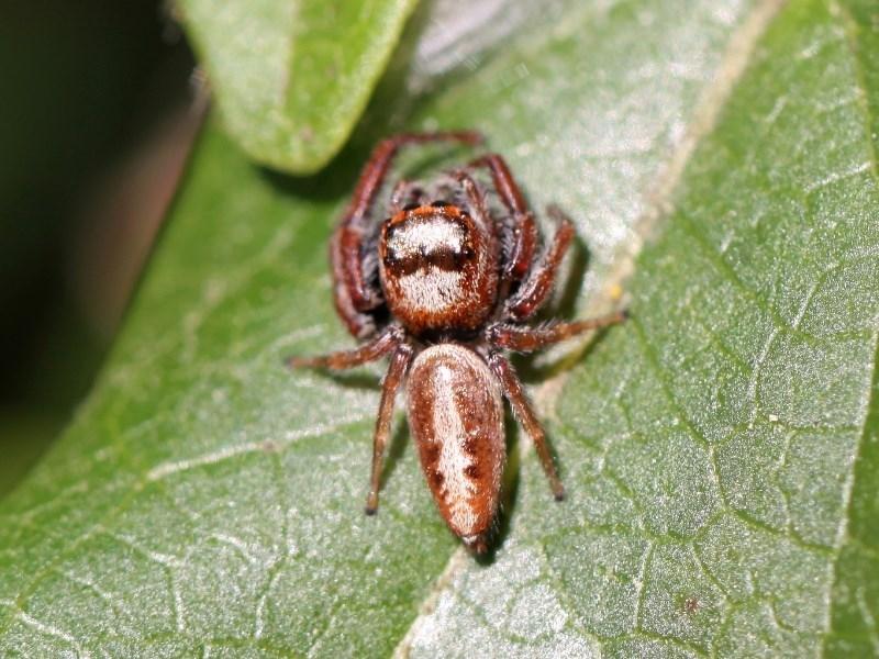 Opisthoncus sp. (genus) at Kambah, ACT - 1 Oct 2014