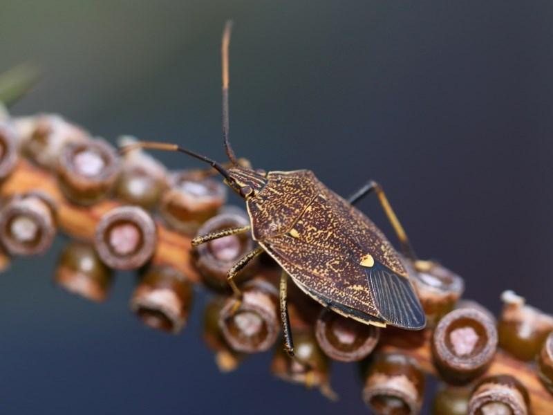 Poecilometis strigatus at Kambah, ACT - 30 Sep 2014