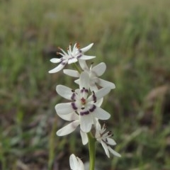 Wurmbea dioica subsp. dioica (Early Nancy) at Conder, ACT - 18 Oct 2016 by michaelb