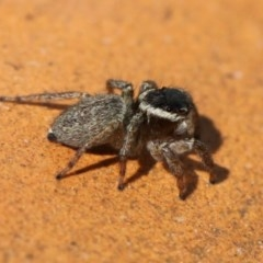 Hypoblemum griseum (A jumping spider) at Kambah, ACT - 20 Sep 2014 by HarveyPerkins