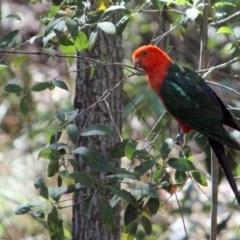 Alisterus scapularis (Australian King-parrot) at Kalaru, NSW - 26 Dec 2016 by MichaelMcMaster