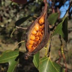Brachychiton populneus subsp. populneus (Kurrajong) at Banks, ACT - 28 Mar 2017 by michaelb