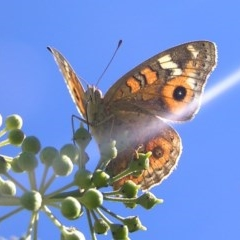 Junonia villida (Meadow Argus) at Kambah, ACT - 29 Mar 2017 by MatthewFrawley