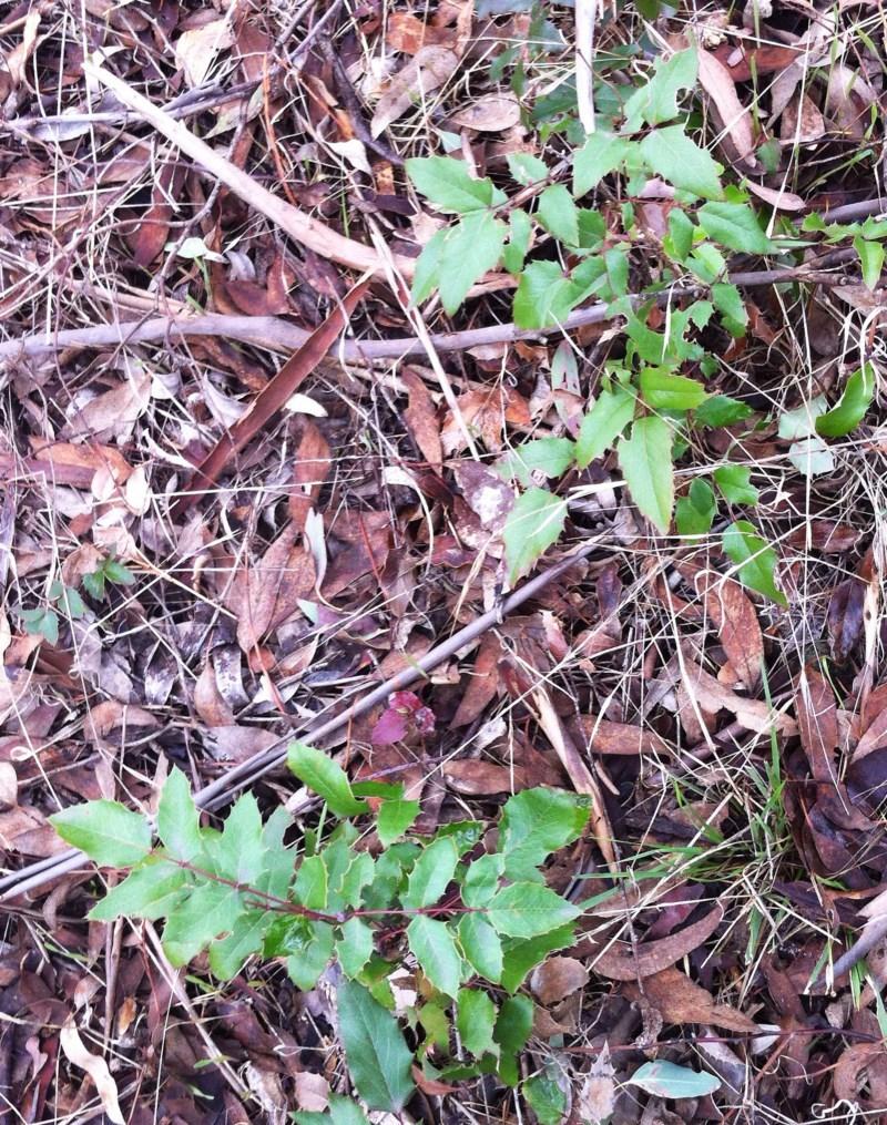 Berberis aquifolium at Hughes Garran Woodland - 25 Mar 2017