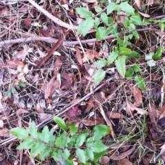 Berberis aquifolium (Oregon grape) at Garran, ACT - 25 Mar 2017 by ruthkerruish