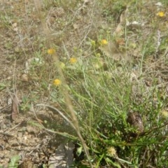 Calotis lappulacea (Yellow burr daisy) at Lower Molonglo Water Quality Control Centre - 30 Mar 2017 by MichaelMulvaney