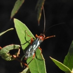 Lissopimpla excelsa (Orchid dupe wasp) at Namadgi National Park - 31 Mar 2017 by JohnBundock