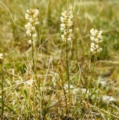Stackhousia monogyna (Creamy Candles) at Conder, ACT - 24 Sep 2000 by michaelb