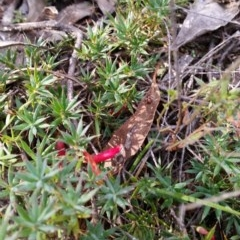 Astroloma humifusum (Cranberry heath) at Mount Jerrabomberra - 2 Apr 2017 by roachie