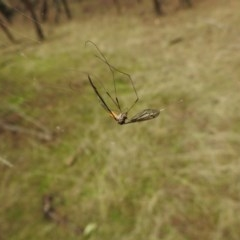 Tipulidae sp. (family) (Unidentified Crane Fly) at Hackett, ACT - 27 Mar 2017 by Qwerty