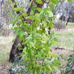 Prunus sp. (A plum species) at Hughes Garran Woodland - 4 Apr 2017 by ruthkerruish