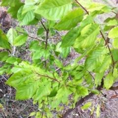Prunus sp. at Hughes Garran Woodland - 5 Apr 2017