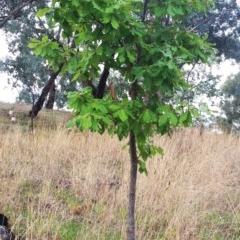 Quercus robur (English Oak) at Hughes Garran Woodland - 4 Apr 2017 by ruthkerruish