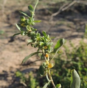 Atriplex semibaccata at Gigerline Nature Reserve - 1 Apr 2017