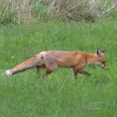Vulpes vulpes (Red Fox) at Jerrabomberra Wetlands - 8 Apr 2017 by MatthewFrawley