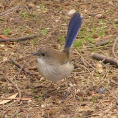 Malurus cyaneus (Superb Fairywren) at Jerrabomberra Wetlands - 8 Apr 2017 by MatthewFrawley
