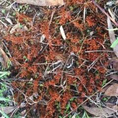 Funaria hygrometrica (A water moss) at Garran, ACT - 7 Apr 2017 by ruthkerruish