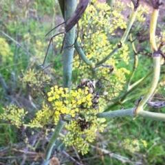 Foeniculum vulgare (Fennel) at Hughes Garran Woodland - 7 Apr 2017 by ruthkerruish