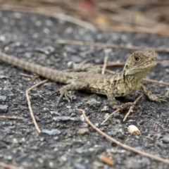 Intellagama lesueurii (Eastern Water Dragon) at ANBG - 22 Mar 2017 by Judith Roach