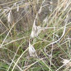 Themeda triandra (Kangaroo Grass) at Kama - 11 Apr 2017 by AndyRussell