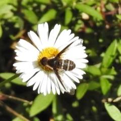 Villa sp. (genus) (Unidentified Villa bee fly) at Wanniassa, ACT - 12 Apr 2017 by JohnBundock