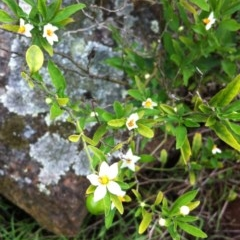 Solanum pseudocapsicum (Winter Cherry or Maderia Cherry) at Hughes Garran Woodland - 9 Apr 2017 by ruthkerruish