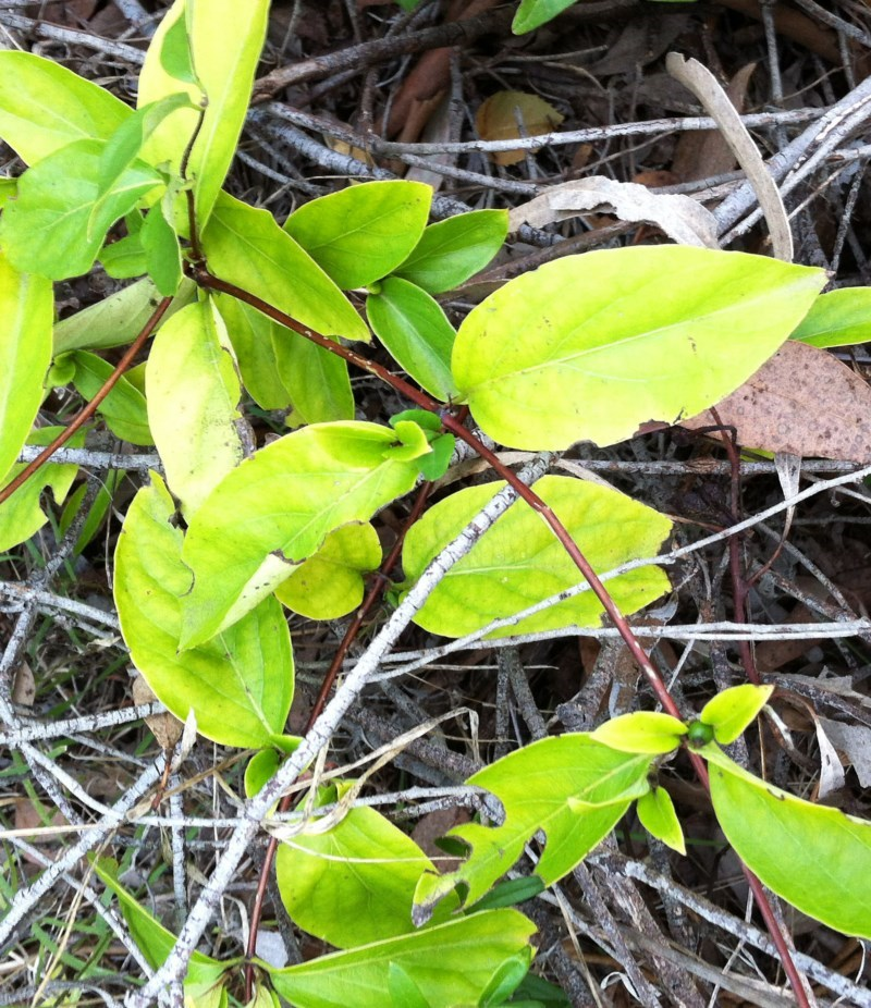Lonicera japonica at Hughes Garran Woodland - 5 Apr 2017