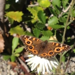 Junonia villida (Meadow Argus) at ANBG - 7 Apr 2017 by PeterR