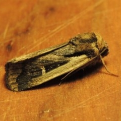 Proteuxoa tortisigna (Streaked Rictonis Moth) at Conder, ACT - 3 Apr 2017 by michaelb